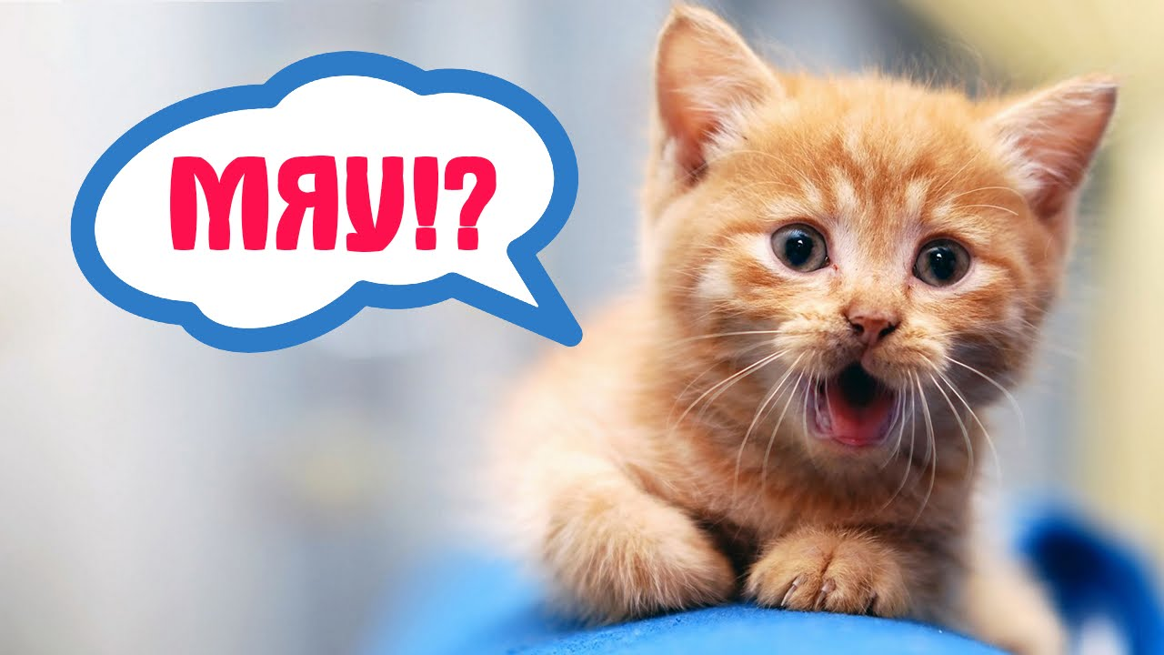 -кошки-мяукают-10-причин